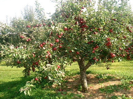 Apple Orchard - Apple Month